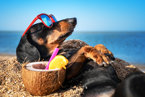 beautiful dog of dachshund, black and tan, buried in the sand at the beach sea on summer vacation holidays, wearing red sunglasses with coconut cocktail 1170291847