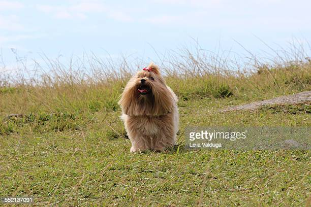 a beautiful dog! - lhasa apso stock photos and pictures