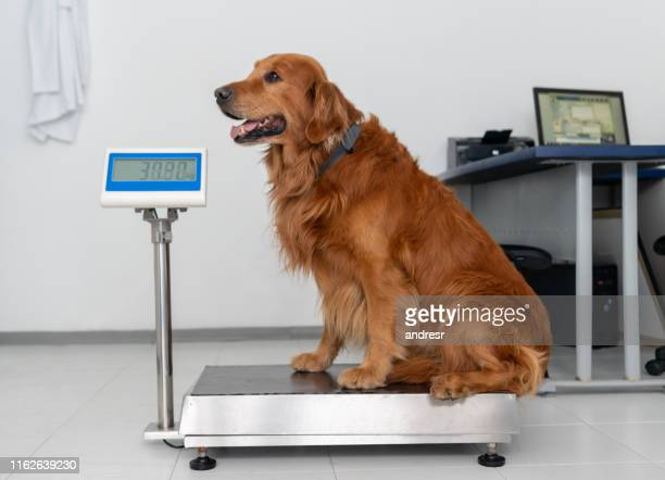 beautiful dog standing on a weight scale at the vet - animal scale stock pictures, royalty-free photos & images