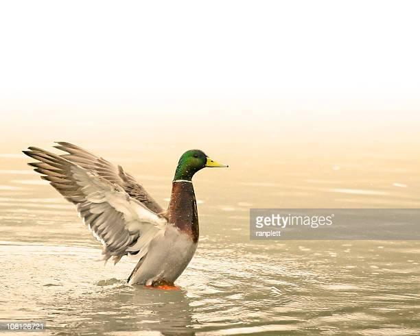 Magnifique dans un bassin à canard