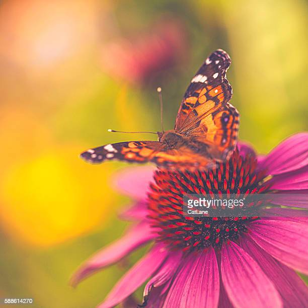 beautiful echinacea coneflower with butterfly and bokeh - farfalle colorate foto e immagini stock