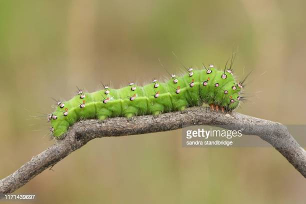 a beautiful emperor moth caterpillar, saturnia pavonia, walking along a twig in heath land. - caterpillar stock pictures, royalty-free photos & images