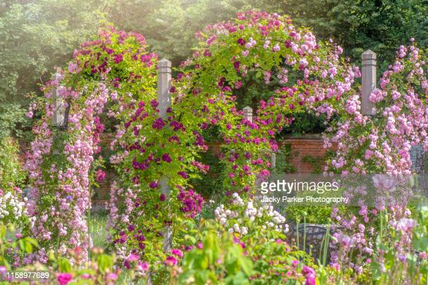 a beautiful english cottage garden in the summer sunshine with scented roses on a garden pergola - gazebo stock pictures, royalty-free photos & images