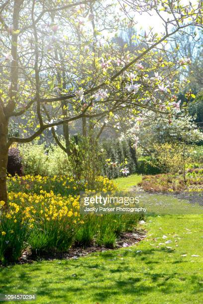 a beautiful english spring garden in soft sunlight with spring yellow daffodils - narcissus and grass path - daffodils stock pictures, royalty-free photos & images