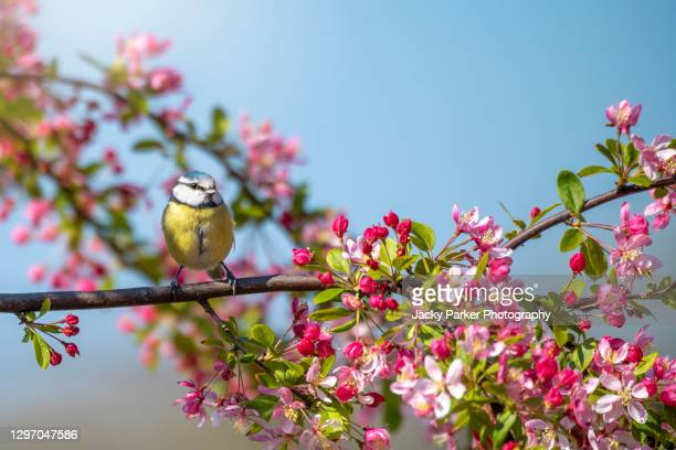 beautiful eurasian blue tit bird perched on the branch of a crab apple tree with spring blossom - garden stock pictures, royalty-free photos & images