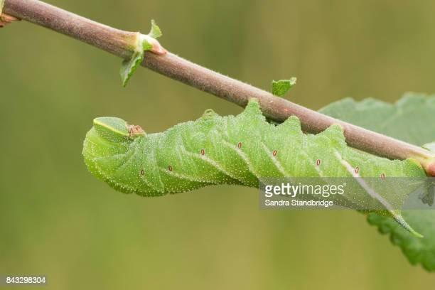 A beautiful Eyed Hawk-moth Caterpillar (Smerinthus ocellata) feeding on willow leaves.