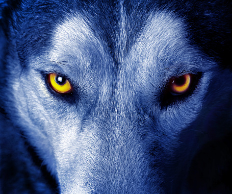 Beautiful eyes of a wild wolf 962287090