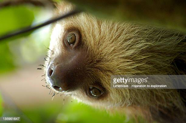Beautiful face of three-toed sloth