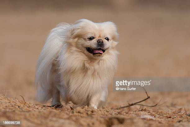 A beautiful fawn pekingese
