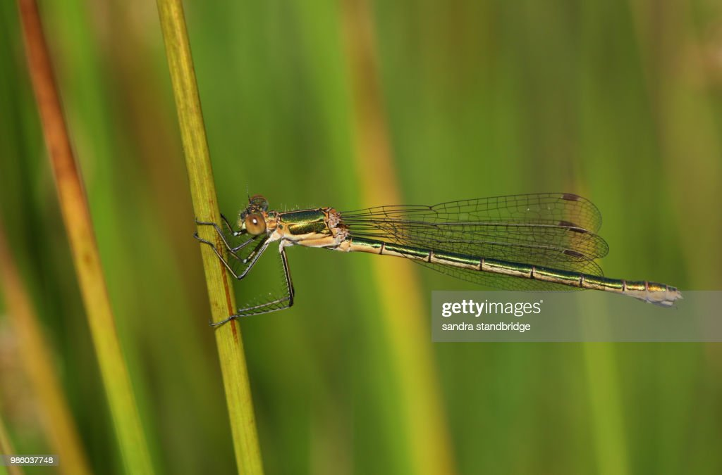 A beautiful female Emerald Damselfly (Lestes sponsa) perching on a reed at the edge of the water. : Stock-Foto