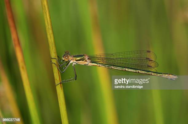 A beautiful female Emerald Damselfly (Lestes sponsa) perching on a reed at the edge of the water.