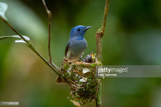 beautiful female of black-naped monarch, black-naped blue monarch (hypothymis azurea ) the beautiful blue birds guarding their chicks in the nest, in nature of thailand - birds nest stock pictures, royalty-free photos & images
