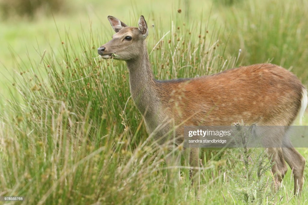 A Beautiful Female Sika Deer Feeding In A Meadow At The Edge Of