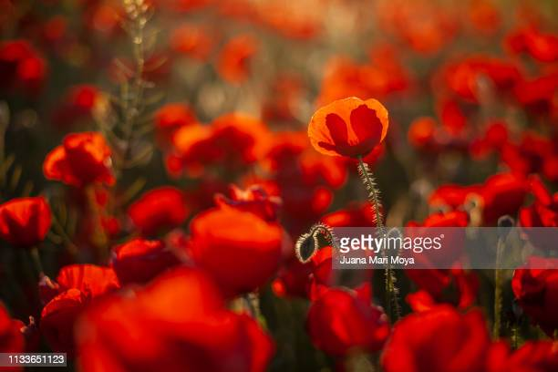 Beautiful field of poppies on a sunny spring day.  Andalusia.  Spain