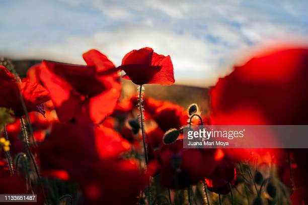 beautiful field of poppies on a sunny spring day.  andalusia.  spain - frescura ストックフォトと画像