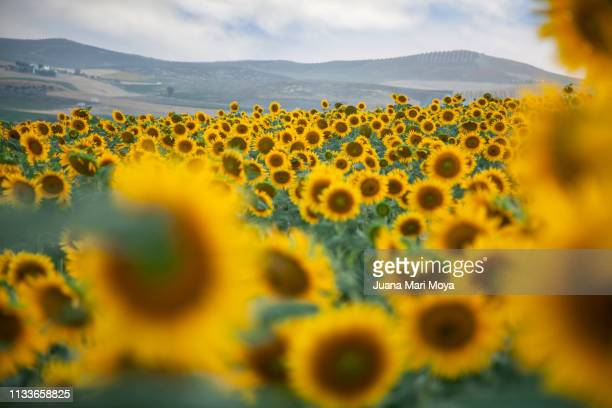 Beautiful field of sunflowers in the province of Jaen, Andalucia.  Spain