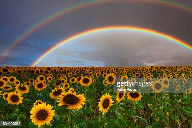 Beautiful field of sunflowers on a background of a bright double rainbow