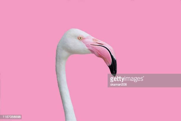 beautiful flamingo bird with pastel background - 優美 ストックフォトと画像