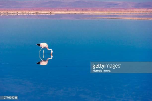 schönen flamingo ernähren sich von der atacama-wüste. - aquatisches lebewesen stock-fotos und bilder
