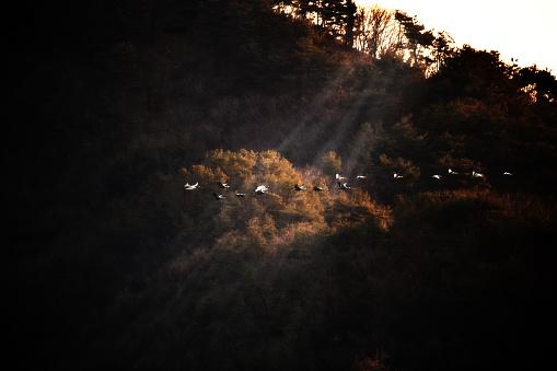 Beautiful Flight of Japanese Cranes - gettyimageskorea
