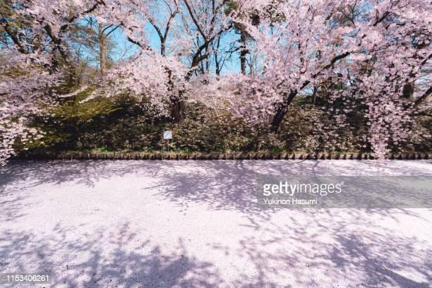 beautiful floral raft in hirosaki park, aomori prefecture - 桜吹雪 ストックフォトと画像