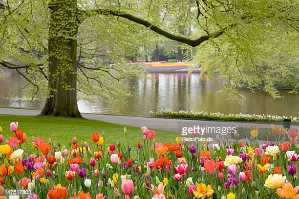 beautiful flower bed of tulips - garden of eden old testament stock photos and pictures