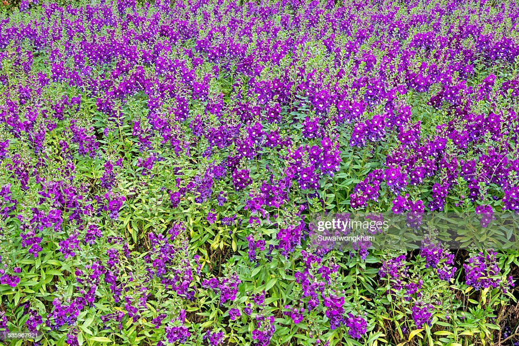 Beautiful flowerbed with Sage, Salvia nemarosa : Stock Photo