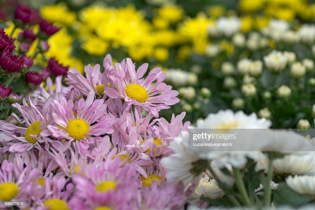 Beautiful flowers in the garden : Stock Photo