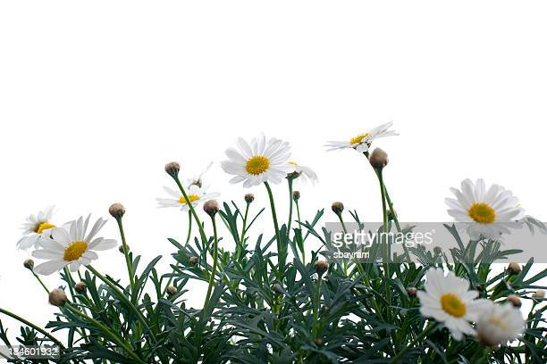 beautiful flowes - chamomile tea stock photos and pictures