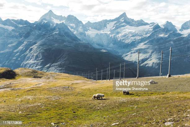 beautiful fluffy blacknose sheep walking on the meadow in swiss alps - valais canton stock pictures, royalty-free photos & images