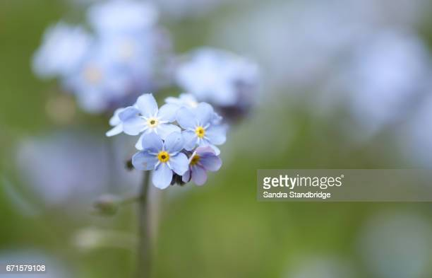 A beautiful Forget-me-not  (Myosotis sylvatica) plant in flower.