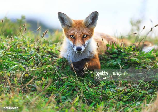 beautiful fox - fox stock pictures, royalty-free photos & images
