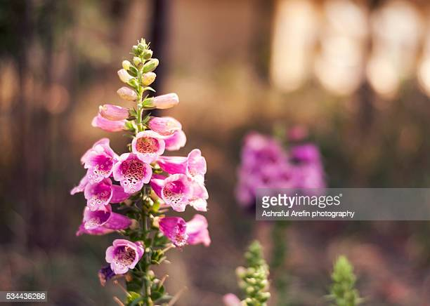beautiful foxglove flower in garden - bangladeshi flowers stock pictures, royalty-free photos & images
