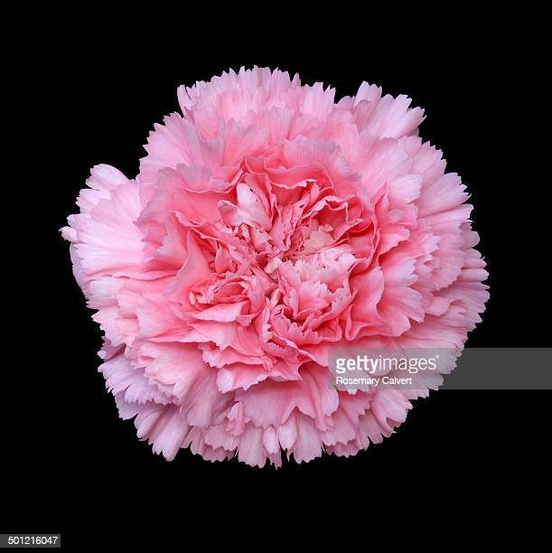 beautiful fragrant pink carnation - carnation flower stock pictures, royalty-free photos & images