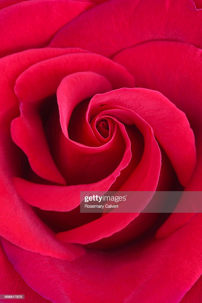 Beautiful fragrant red rose in close up : Stock Photo