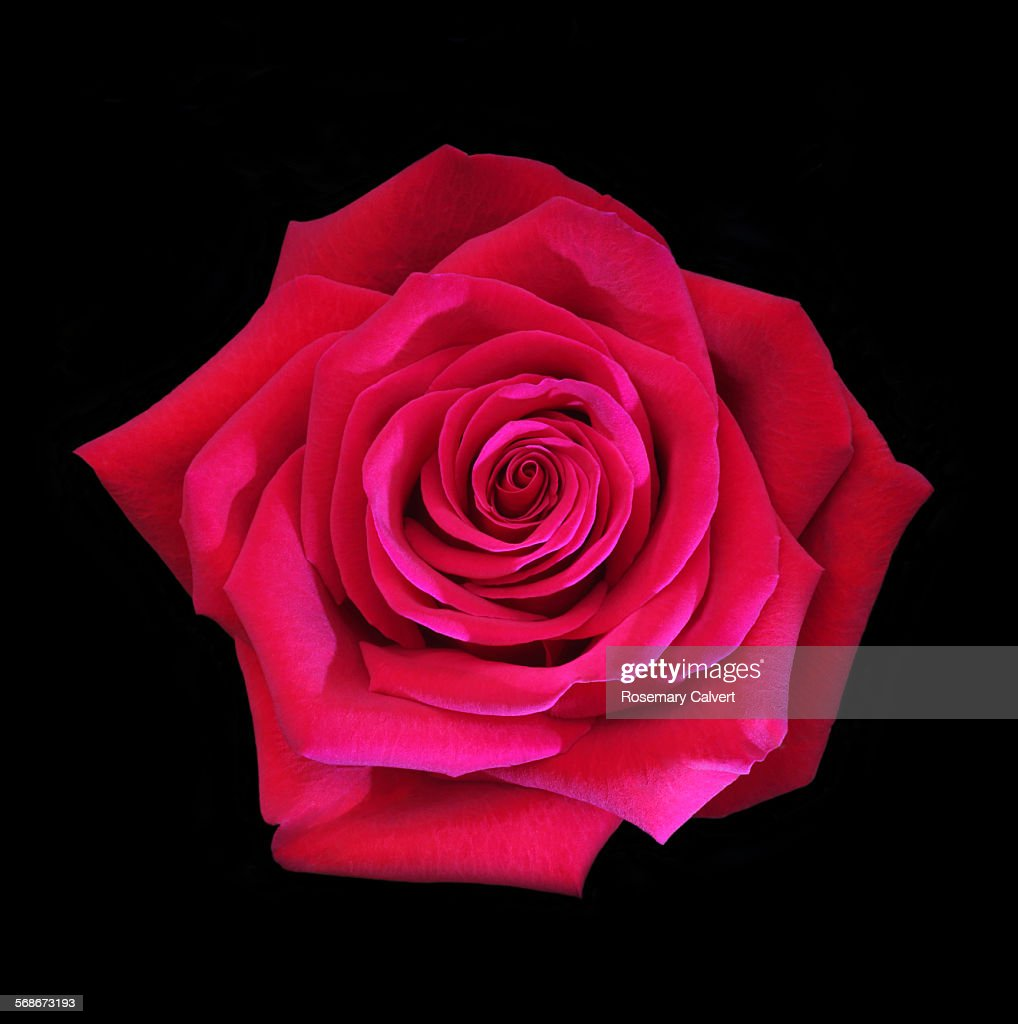 Beautiful fragrant red rose on black : Stock Photo