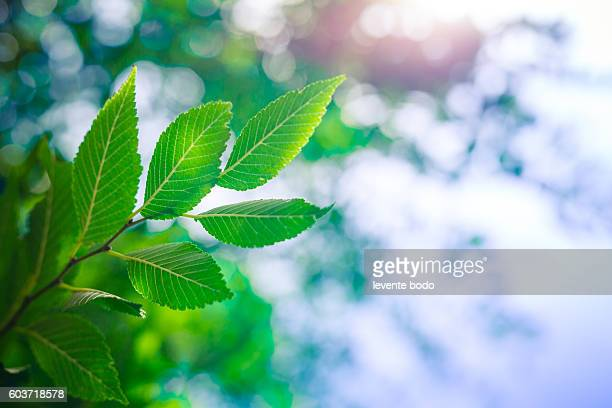beautiful fresh and green leaves - photosynthesis stock photos and pictures