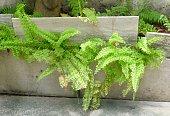 green bush tassle ferns grow flower
