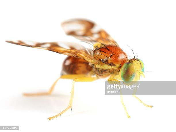 Beautiful Fruit Fly