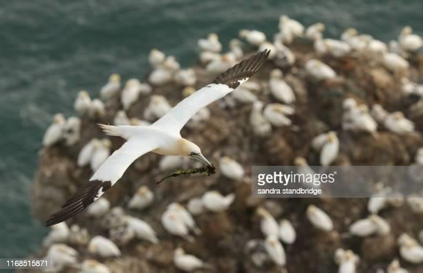 a beautiful gannet (morus bassanus) flying over the colony of breeding gannet on the cliffs edge, with nesting material in its beak. - jan van gent stockfoto's en -beelden