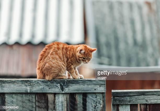 beautiful ginger cat on vintage fence in old village - posizione descrittiva foto e immagini stock