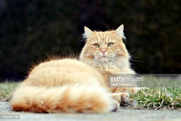 beautiful ginger cat - czech hunters stock pictures, royalty-free photos & images
