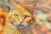 beautiful ginger cat with yellow eyes