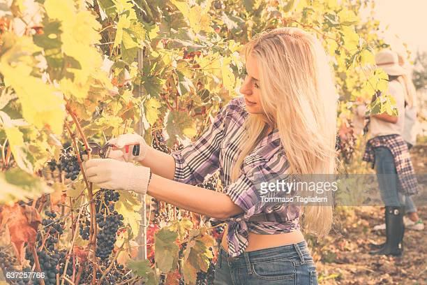Beautiful girl cutting grapes in a vine