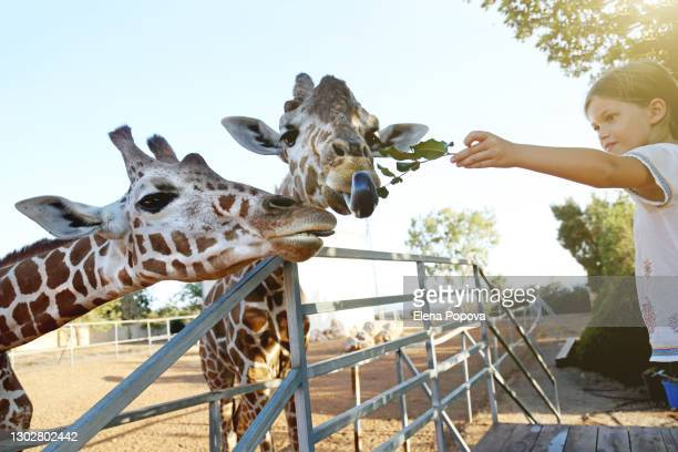 beautiful girl feeding giraffes at the public wild park - zoo stock pictures, royalty-free photos & images