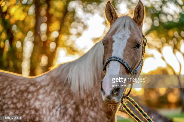 a beautiful gold and white spotted palomino quarter horse - horse stock pictures, royalty-free photos & images