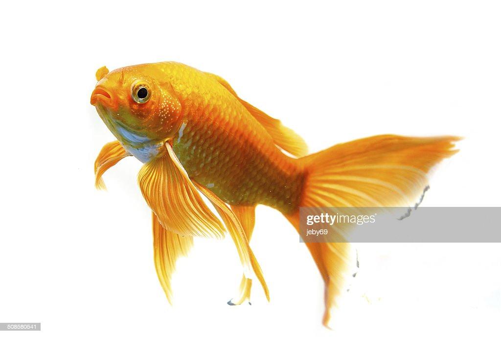 Magnifique poisson d'or isolé sur fond blanc : Photo