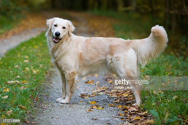 beautiful golden retriever dog moana - golden retriever stock pictures, royalty-free photos & images