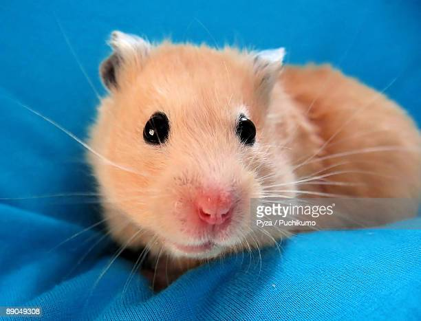 beautiful golden syrian hamster on blue background - golden hamster stock pictures, royalty-free photos & images