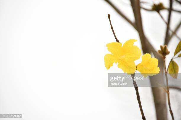 beautiful golden trumpet tree ( tabebuia chrysantha, handroanthus chrysanthus, golden tree, yellow pui ) blooming in spring, jiangmen, guangdong, china. - handroanthus stock pictures, royalty-free photos & images